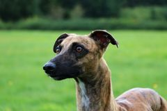 Portrait de whippet Photos stock