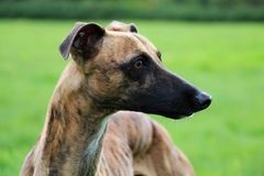 Portrait de whippet Photographie stock