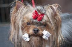 Portrait de York. Exposition canine. Images stock