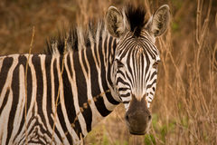 Portrait de zèbre dans le buisson Photos libres de droits
