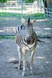 Portrait de zèbre dans le zoo image libre de droits