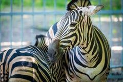 Portrait de zèbre dans le zoo images libres de droits