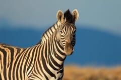 Portrait de zèbre de plaines Photographie stock libre de droits