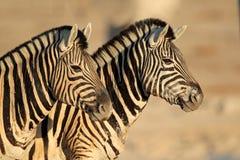 Portrait de zèbres de plaines Images libres de droits