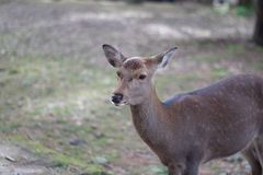 Portrait of a Dear. Nara dear park in Japan stock images