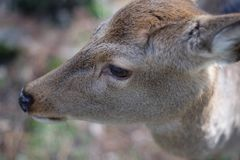 Portrait of a Dear. Nara dear park in Japan royalty free stock images
