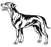 Portrait debout décoratif du Pinscher allemand v standard de chien Images libres de droits