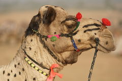 Portrait of a Decorated Camel Royalty Free Stock Images