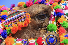 Portrait of decorated camel at Desert Festival, Jaisalmer, India Royalty Free Stock Photos