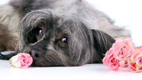 Portrait of a decorative dog with roses. Royalty Free Stock Image