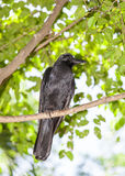 The portrait of deep black Crow bird Royalty Free Stock Images