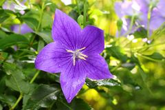 The portrait of deep purple of Balloon flower Stock Photography