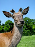 Portrait deer Royalty Free Stock Photos