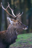 Portrait of a deer Royalty Free Stock Images