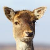 Portrait of deer calf Royalty Free Stock Photos