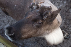 Portrait of a deer. Close up Royalty Free Stock Photography