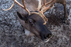 Portrait of a deer. Close up Stock Images
