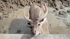 Portrait of a deer on a dirt Royalty Free Stock Photos