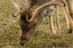 Portrait of deer eating grass. royalty free stock photos