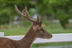 Portrait of Deer in farm Thailand. Animal and wildlife concept Stock Photo