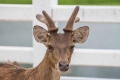 Portrait of Deer in farm Thailand. Animal and wildlife concept Royalty Free Stock Photo