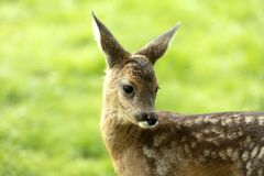 Portrait from Deer Fawn Royalty Free Stock Photography