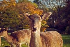 Portrait of Deer on Field Stock Photography