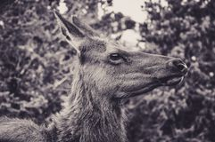 Portrait of a Deer Frightened at the Grand Canyon. National Park Stock Photos