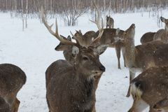 Portrait of a deer with horns in the winter on a livestock farm. Cloudy sky royalty free stock photo