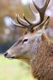 Portrait of deer Stock Images
