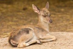 Portrait deer (Warm tone) with sleepy action. Royalty Free Stock Photo