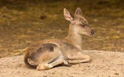 Portrait deer (Warm tone) with sleepy action. Stock Photo