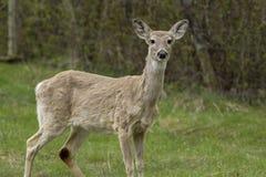 Portrait of deer. Royalty Free Stock Image