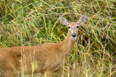 Portrait of deer. Royalty Free Stock Photos