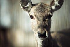 Portrait of deer in wildlife. Portrait of cute and wild deer in wildlife Stock Photography