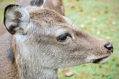 Deer on a meadow Stock Photos