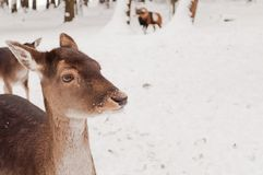 Portrait of deer in winter Stock Photo
