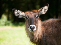 Portrait of Defassa waterbuck antelope -  Kobus ellipsiprymnus defassa Royalty Free Stock Photography