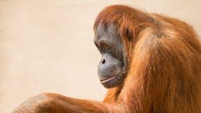 Portrait of depressed Asian orangutan Stock Photo
