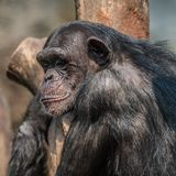 Portrait of depressed Chimpanzee. Extreme closeup stock photos