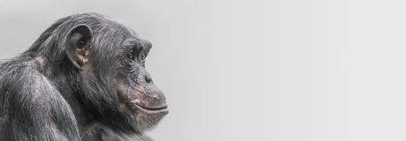 Portrait of depressed Chimpanzee at smooth background. Extreme closeup stock photos