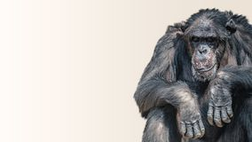 Portrait of depressed and tired old Chimpanzee at smooth background, closeup, details, paste space. Portrait of depressed and tired old Chimpanzee at smooth royalty free stock photography