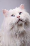 Portrait der alten Katze. Lizenzfreies Stockfoto