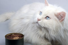 Portrait der alten Katze. Lizenzfreies Stockbild