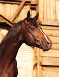 Portrait der braunen Brut sportiv Stockfotografie