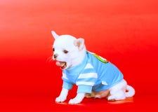 Portrait der Chihuahua Kleiner Welpe auf einem roten Hintergrund Stockfotos