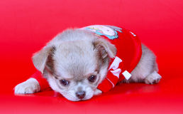Portrait der Chihuahua Kleiner Welpe auf einem roten Hintergrund Lizenzfreie Stockbilder