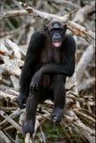 Portrait der erwachsenen Frau eines Schimpansen. Stockfotos