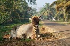 Portrait der heiligen Kühe Stockbild