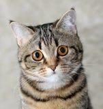 Portrait der Katze Lizenzfreies Stockbild